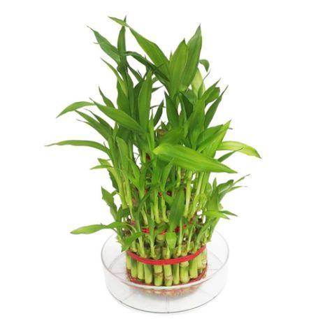 100 cm lucky bamboo to vietnam