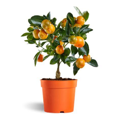 60 cm kumquat tree plant