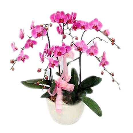 pink orchids potted send to vietnam
